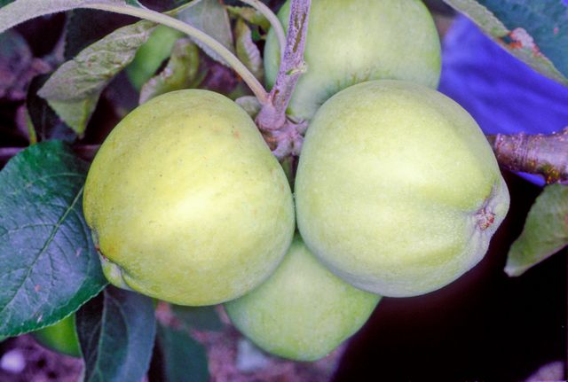 File:White Transparent on tree, National Fruit Collection (acc. 2000-096).jpg