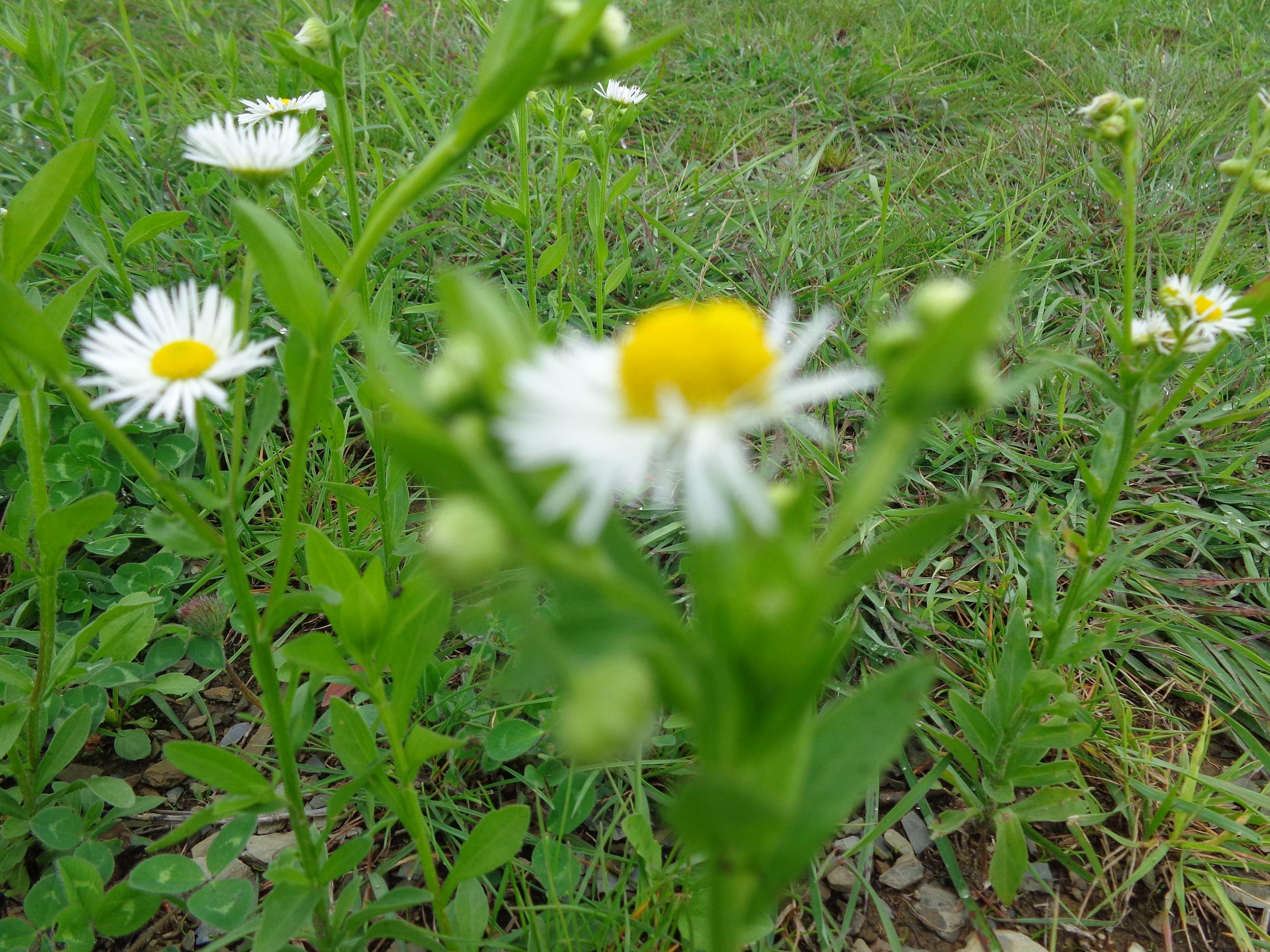Filewhite mountain flowerg wikimedia commons filewhite mountain flowerg mightylinksfo