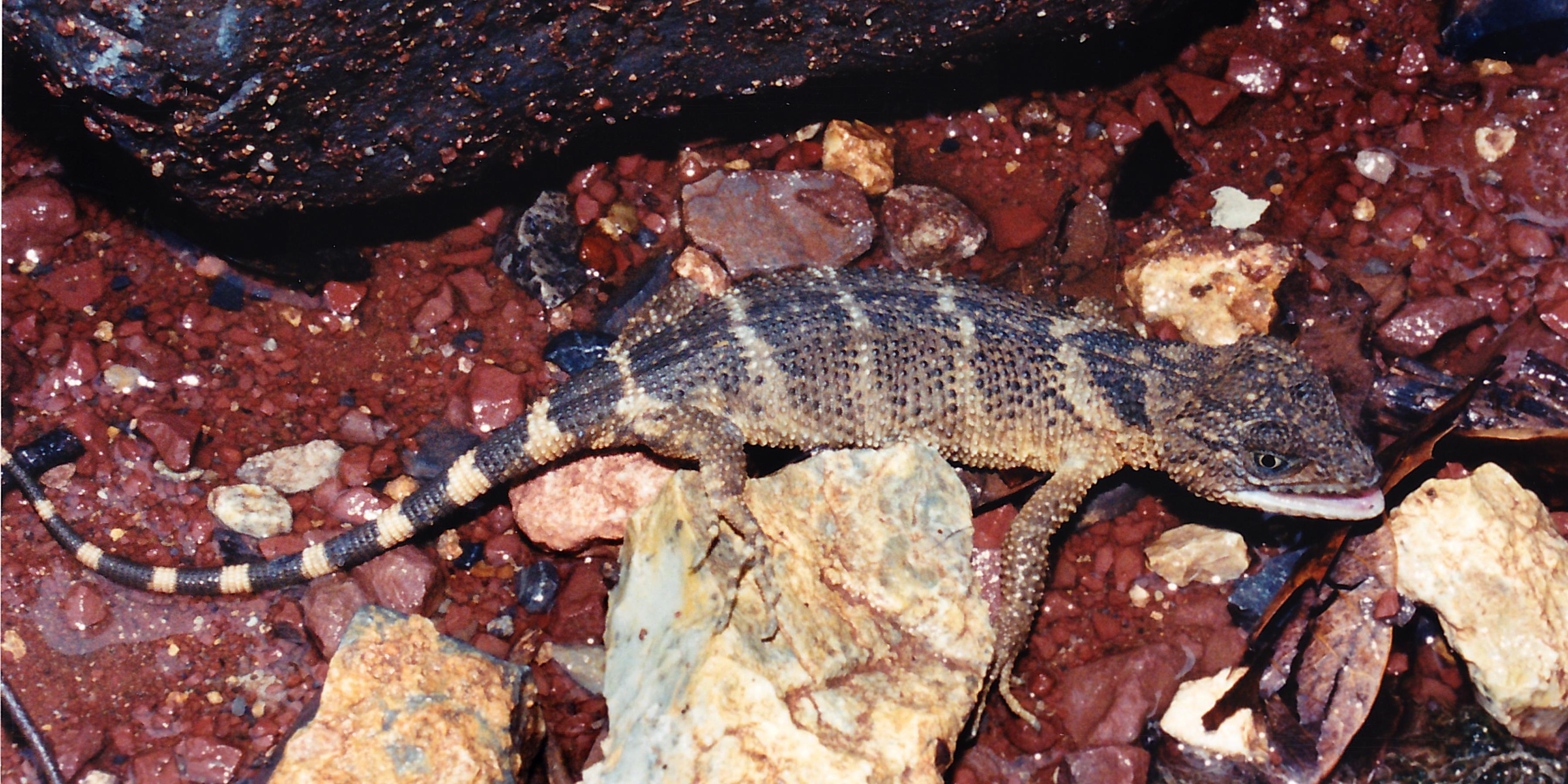Xenosaurus Newmanorum