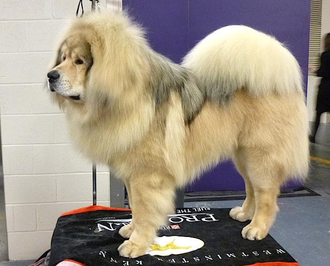 Dogo del Tíbet