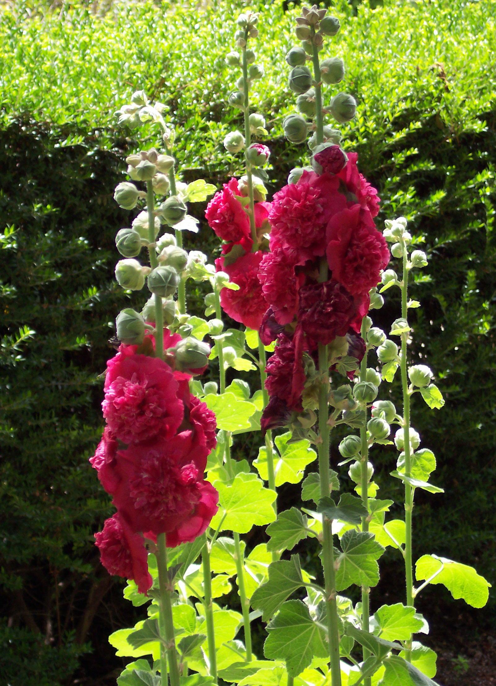 File alcea rosea 39 summer carnival 39 jpg wikimedia commons for Alcea rosea