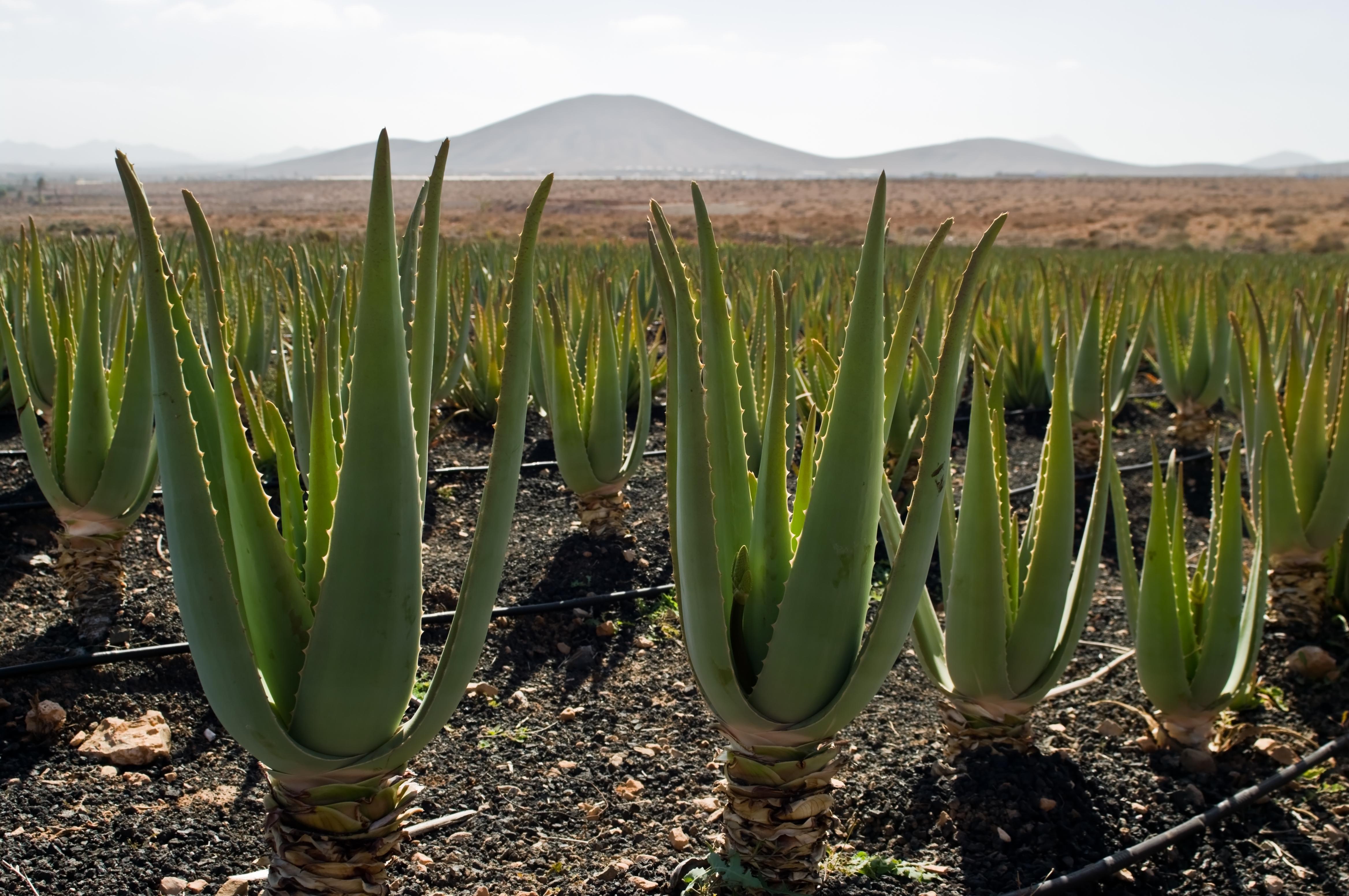 Aloe Vera For Natural Hair