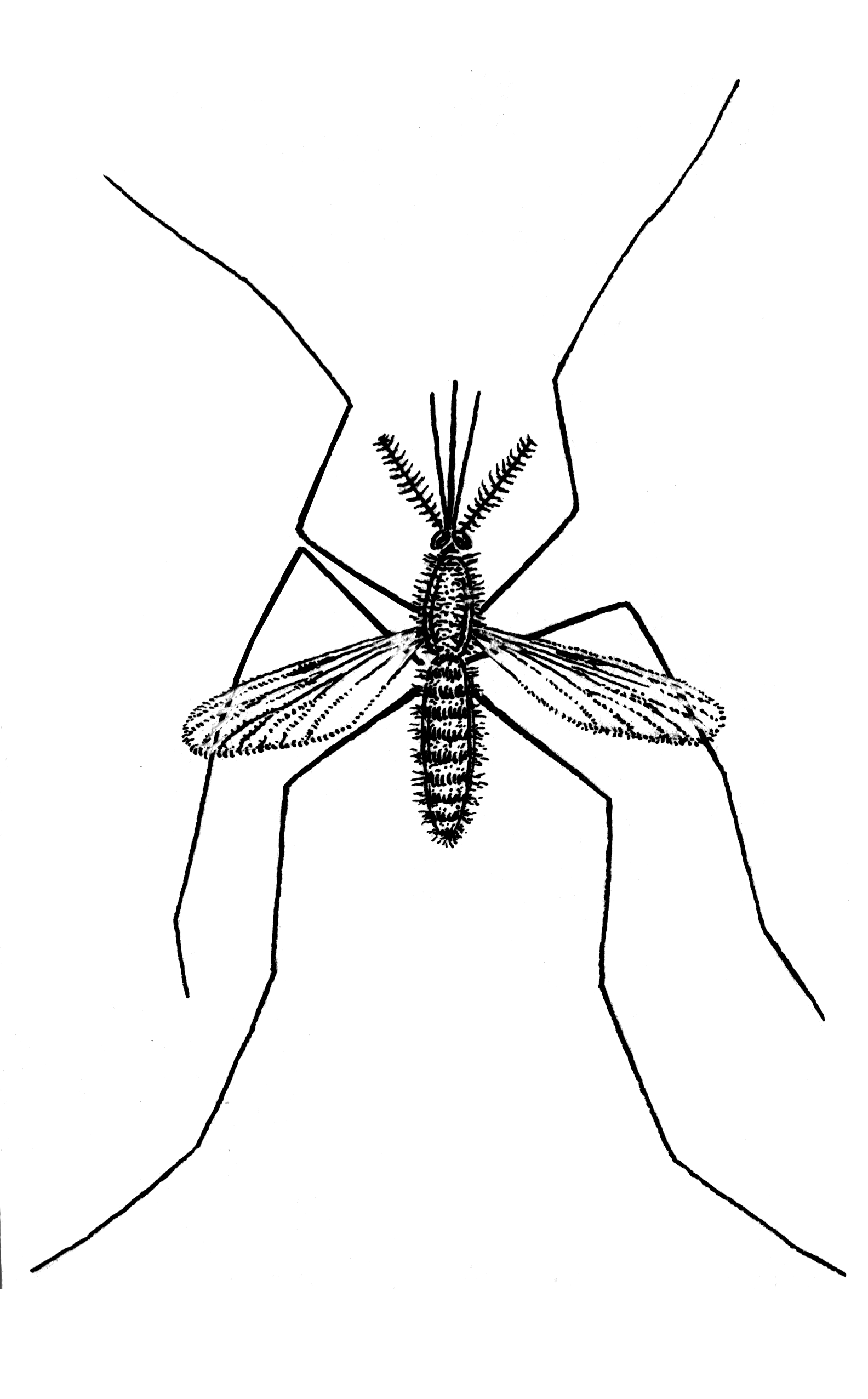 Anopheles mosquito drawing - photo#9