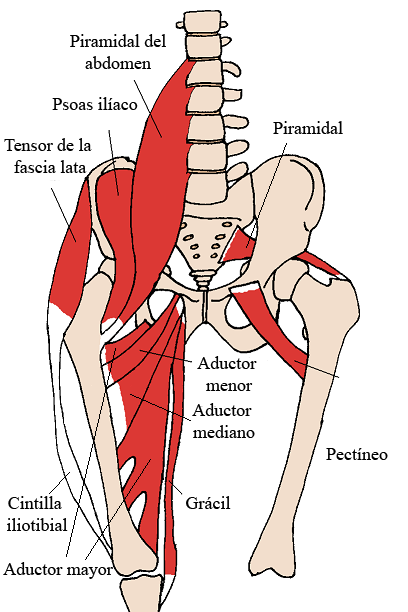 Músculo psoas mayor - Wikipedia, la enciclopedia libre