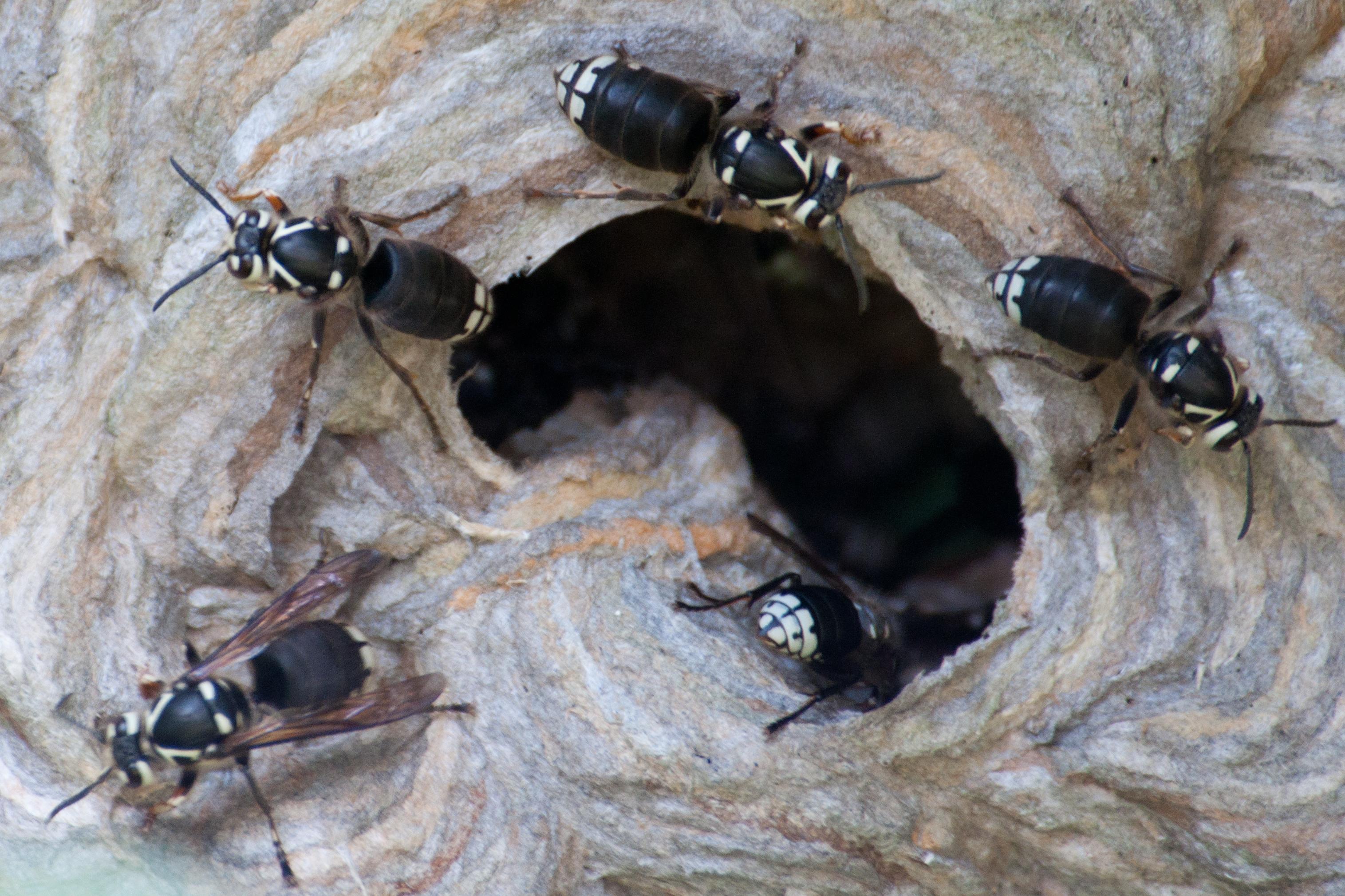 Image result for bald faced hornet