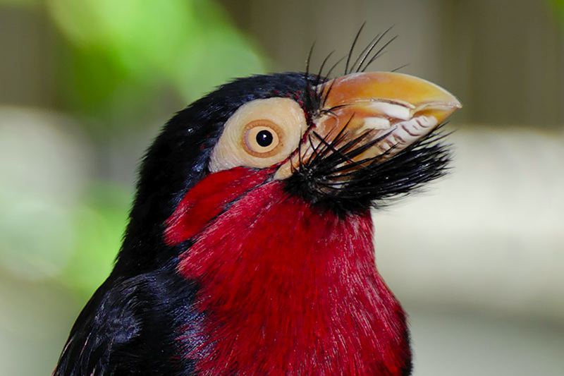 [Image: Bearded_Barbet_Head.jpg]