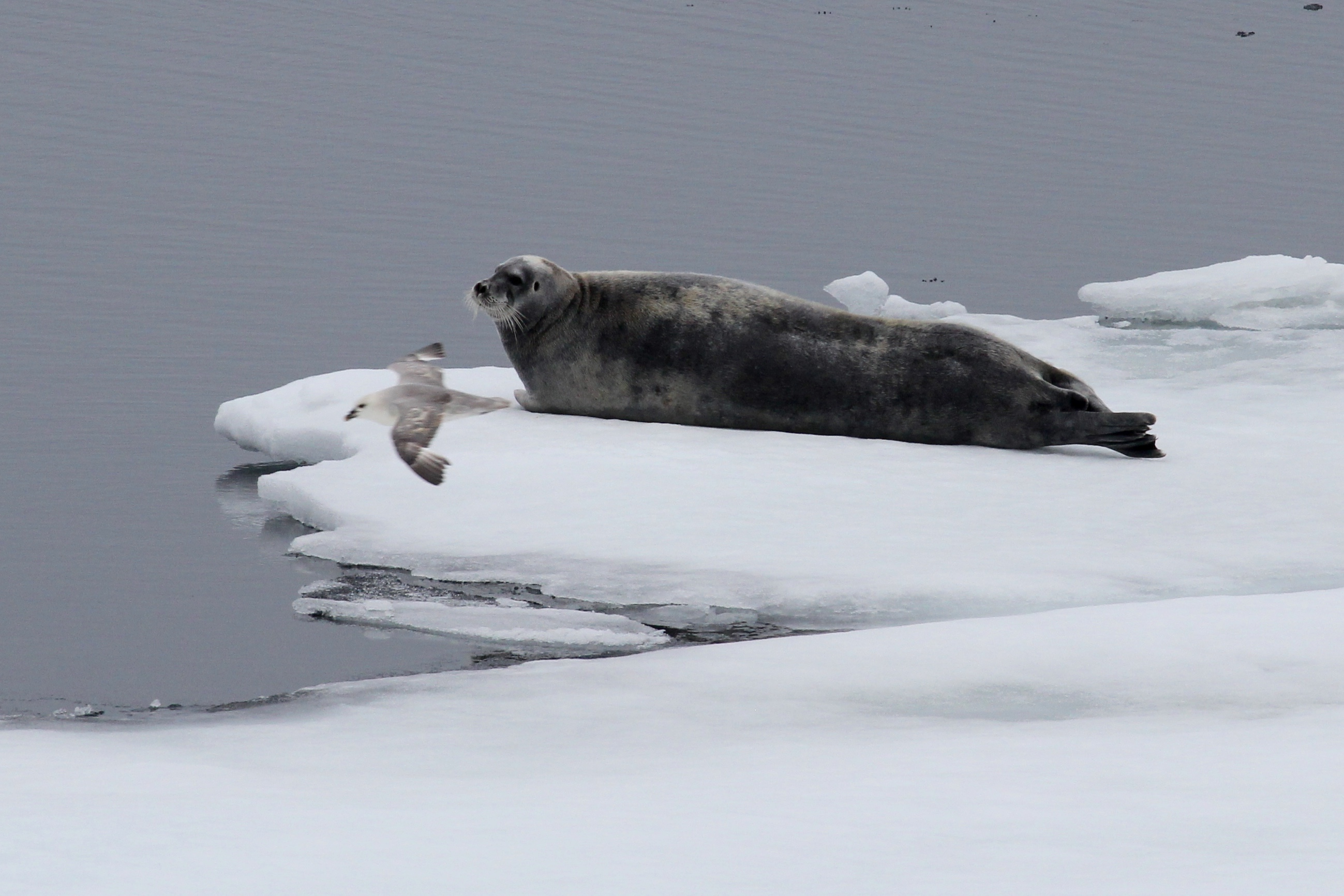 related pictures seal arctic - photo #44