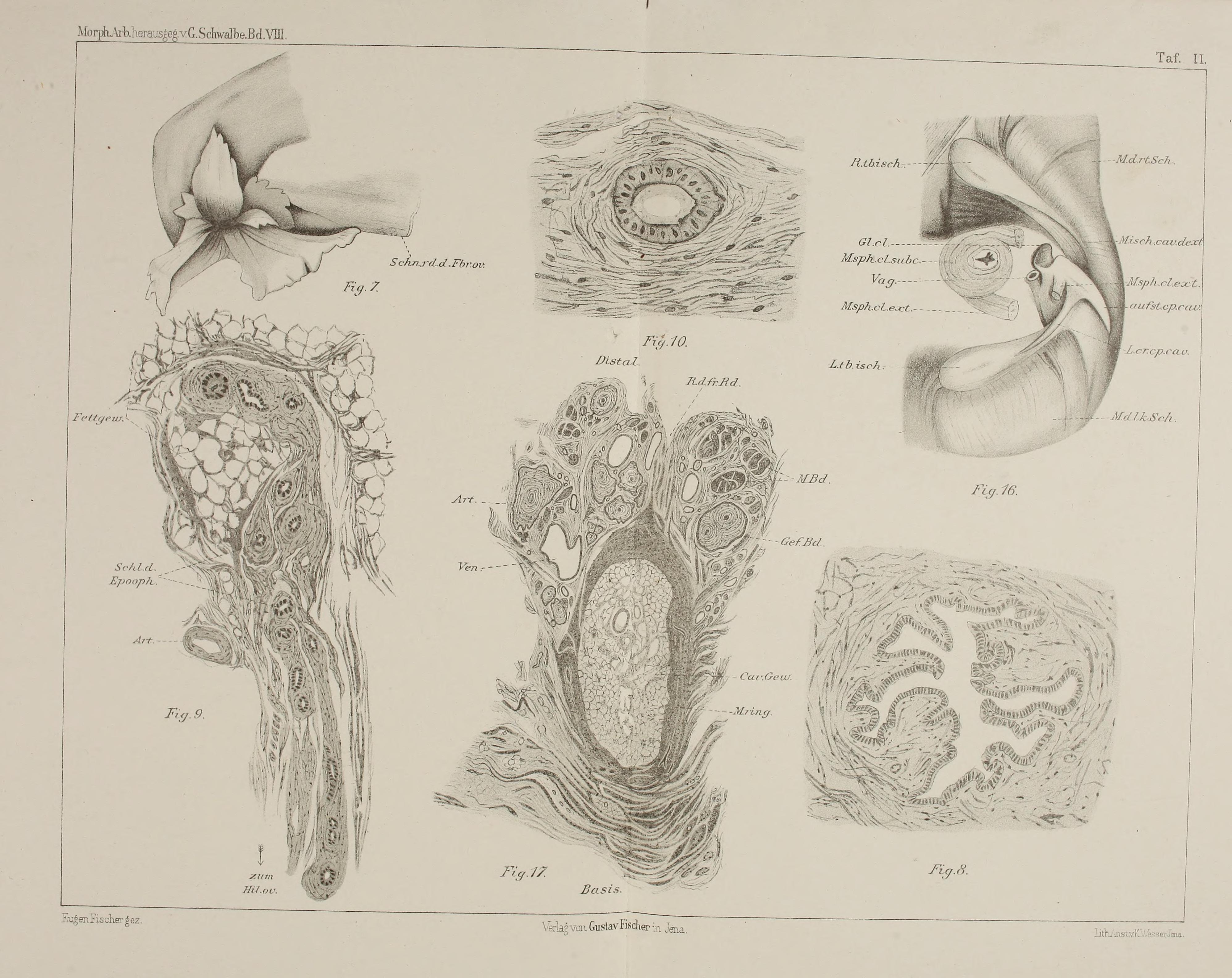 File:Beiträge zur Anatomie der weiblichen Urogenitalorgane des Orang ...