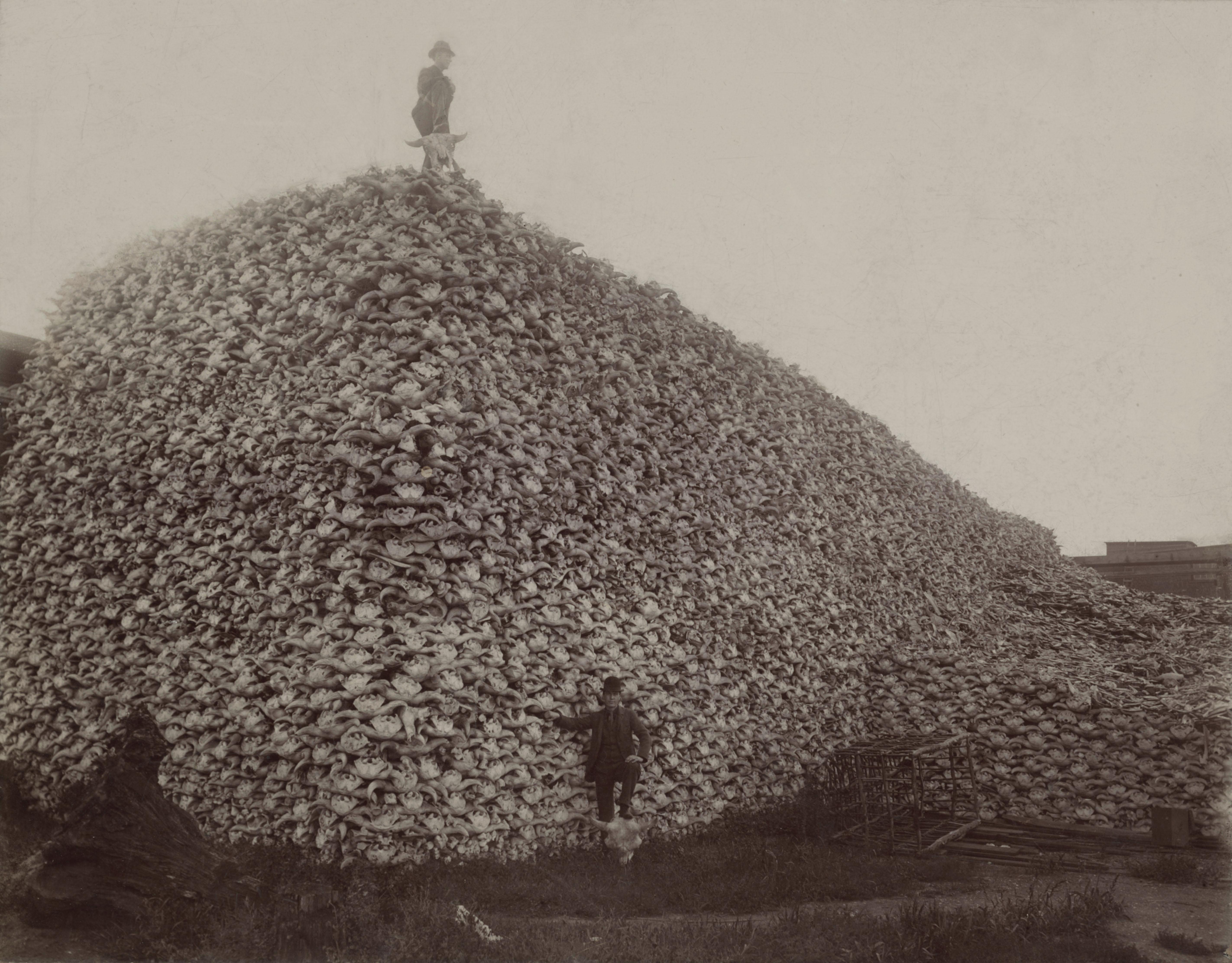 Buffalo Skulls Pile
