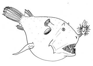 <i>Borophryne apogon</i> Species of fish