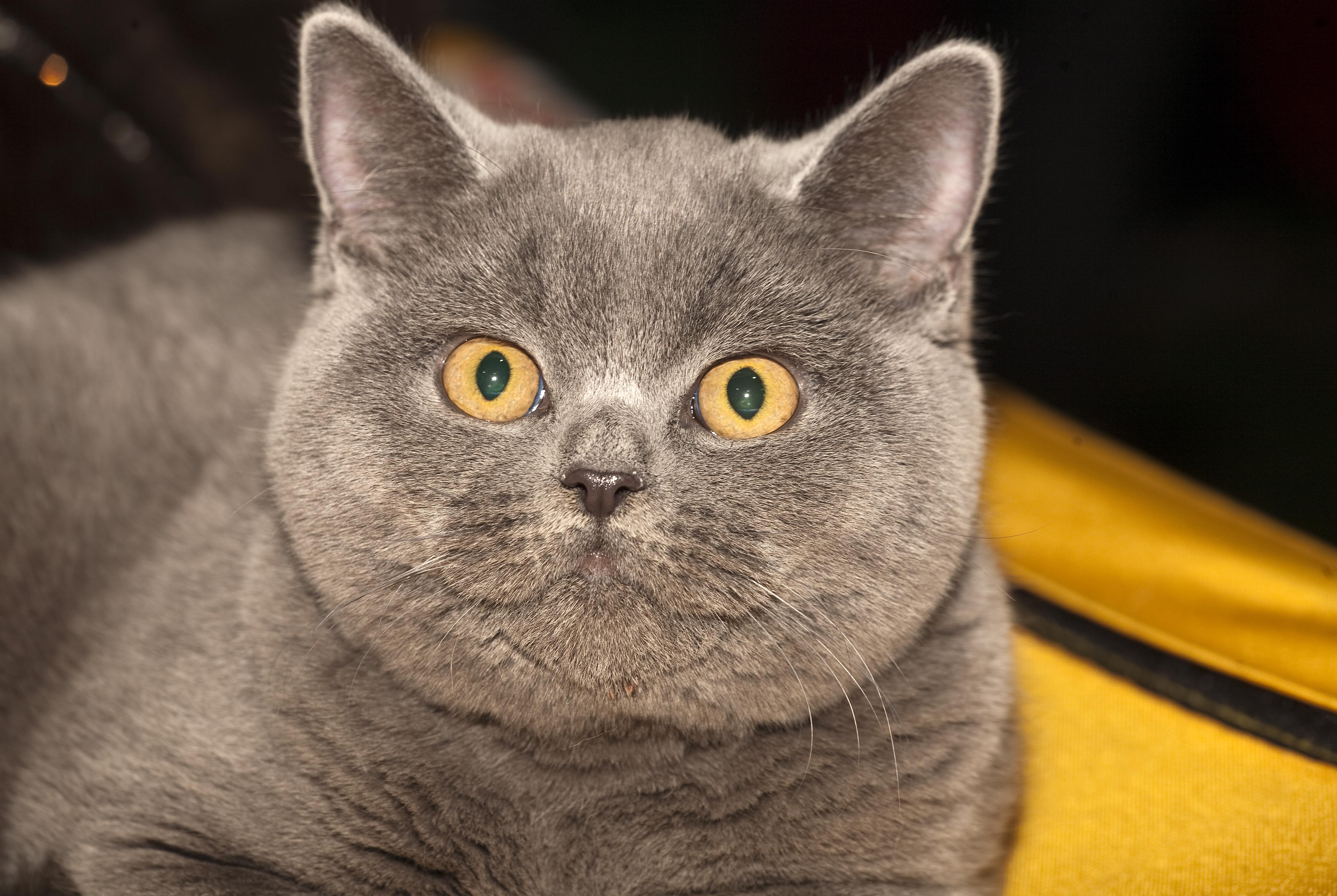 Коты британцы серого цвета