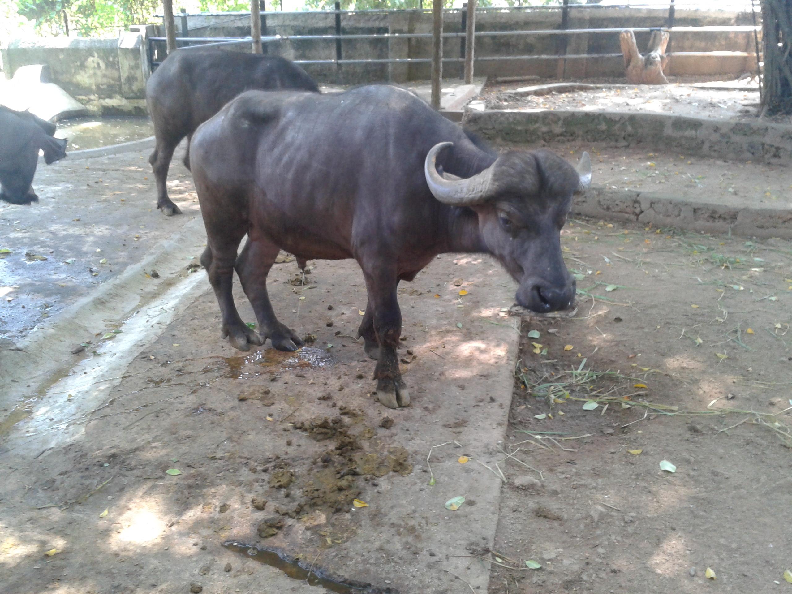 File Buffalo At Dehiwala Zoological Garden Sri Lanka Jpg Wikipedia