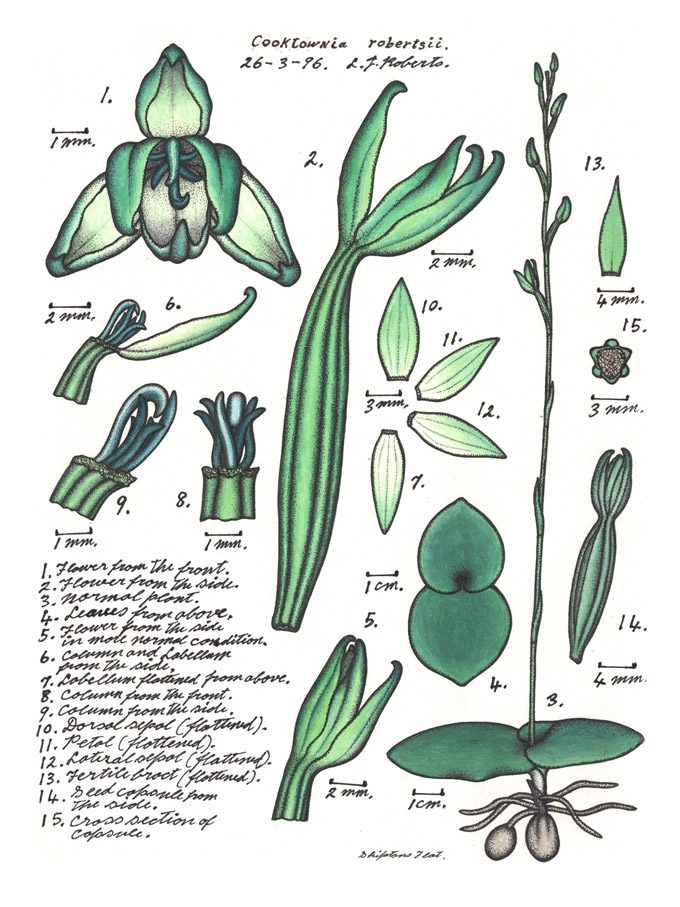 Botanical illustration of the Mystery Orchid or Cooktownia robertsii by Lewis Roberts