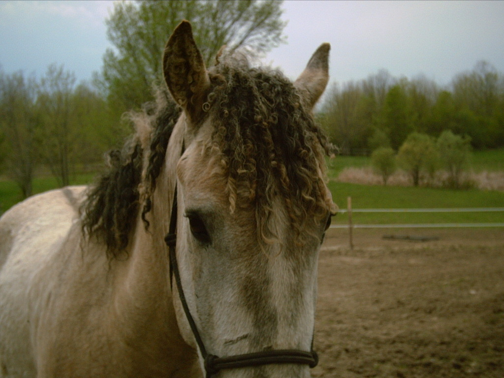Description Curly horse mane.jpg