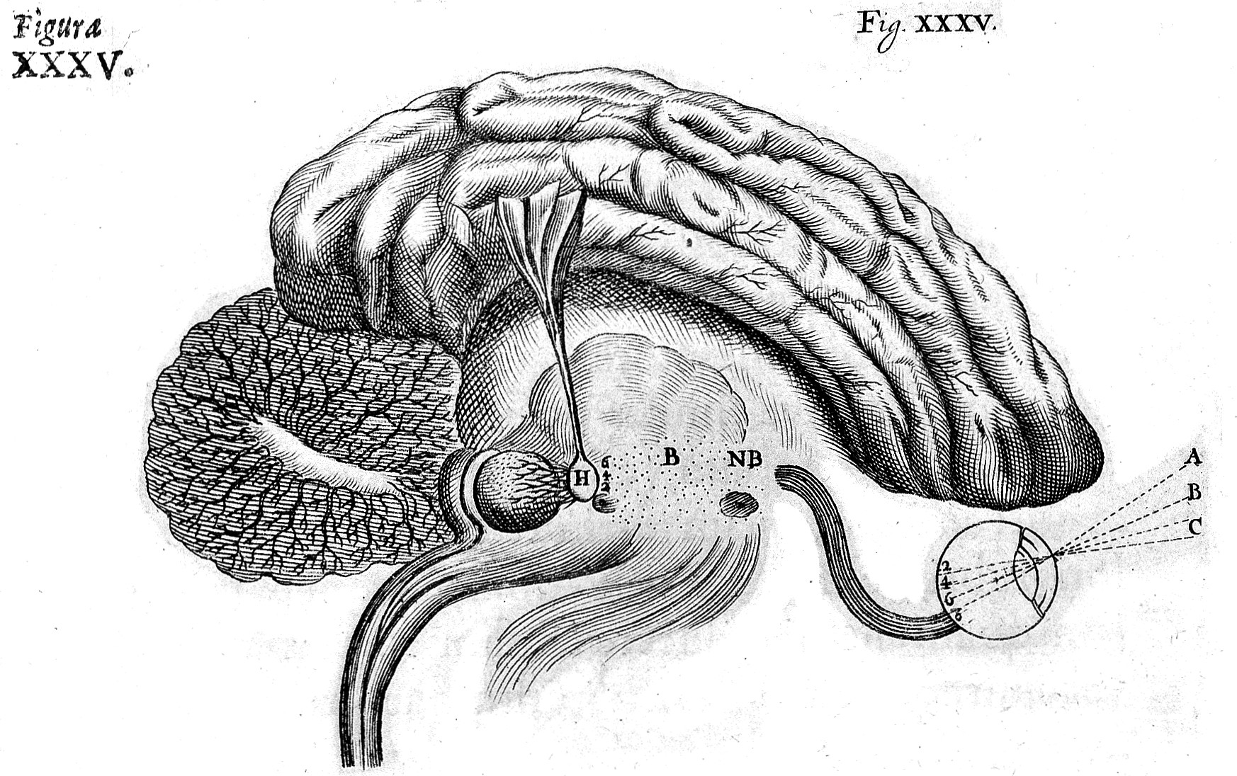 Filedescartes The Nervous System Diagram Of The Brain Wellcome