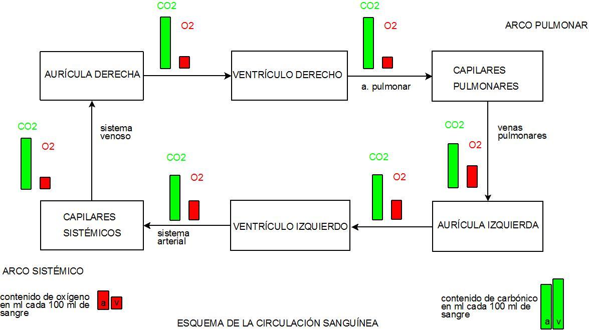 Archivo:DiagramaCIRCULACION.jpeg - Wikipedia, la enciclopedia libre