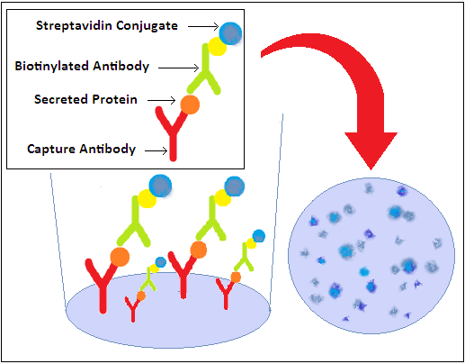 elispot assay The enzyme-linked immunospot (elispot) assay is a very sensitive immunoassay which measures the frequency of cytokine-secreting cells at the single-cell level.