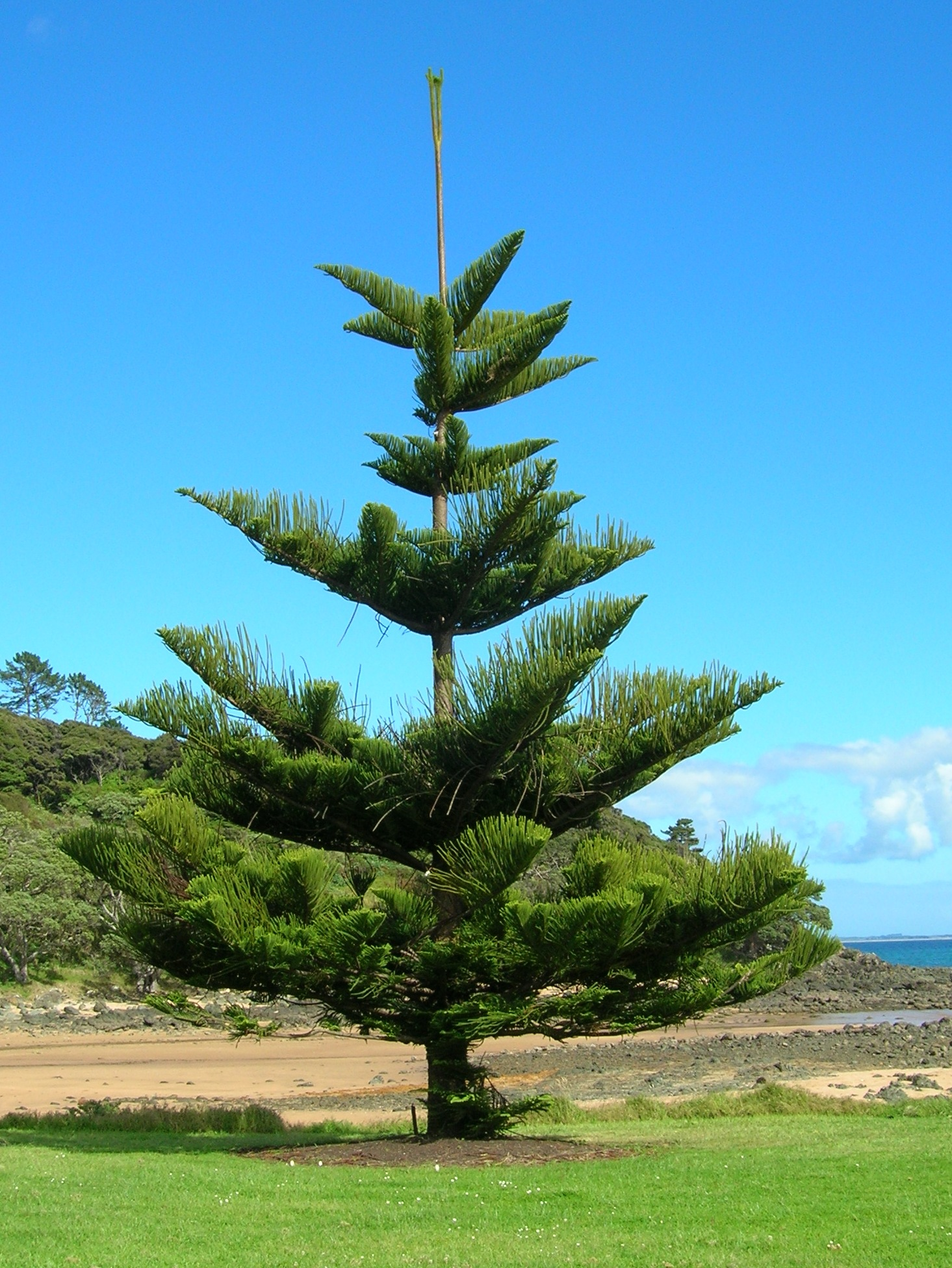 the description of the sky craping norfolk pines at rangitoto