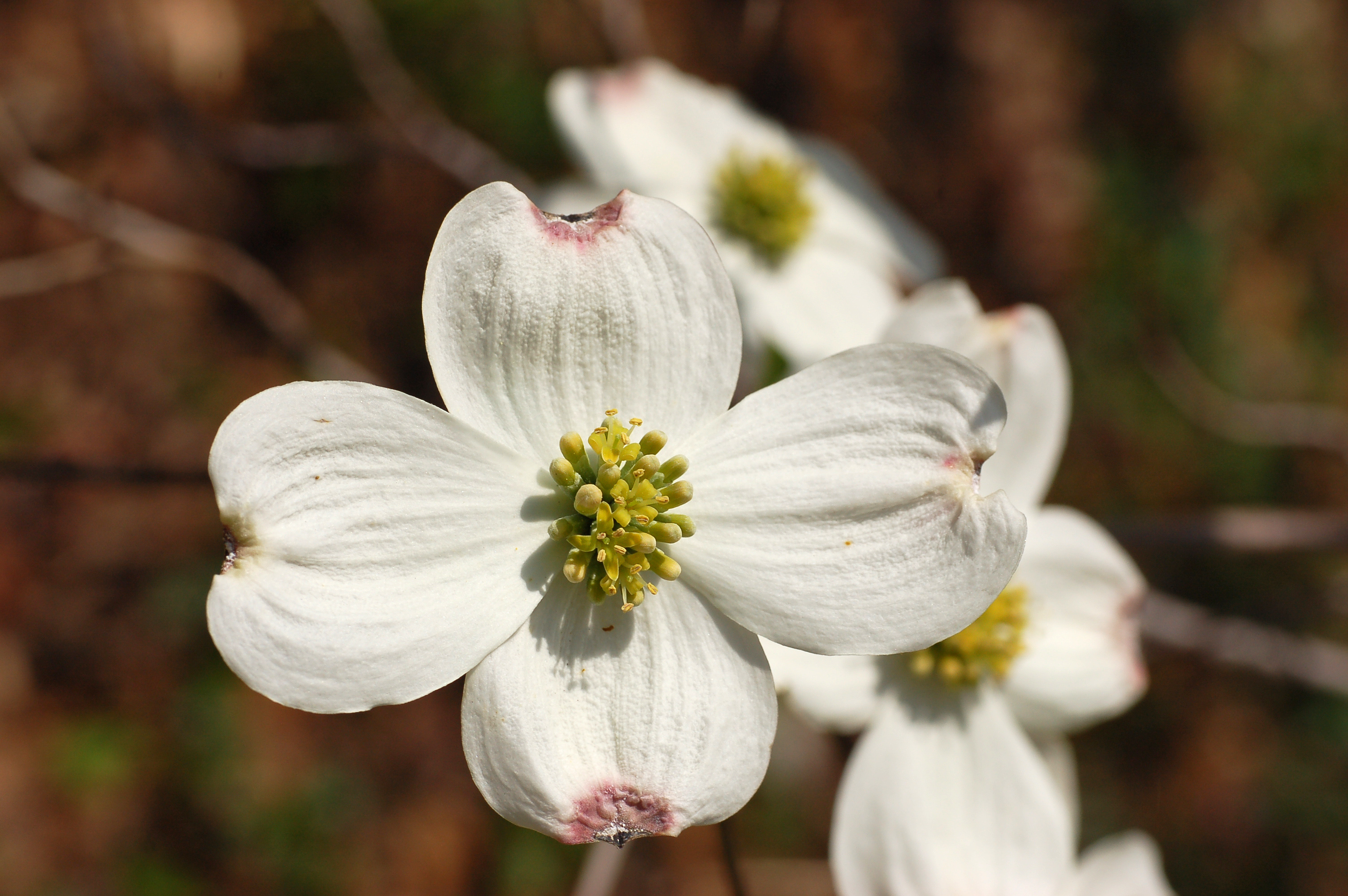 File Flowering Dogwood Cornus florida Yellow Flowers 3008px JPG Wikimedia C