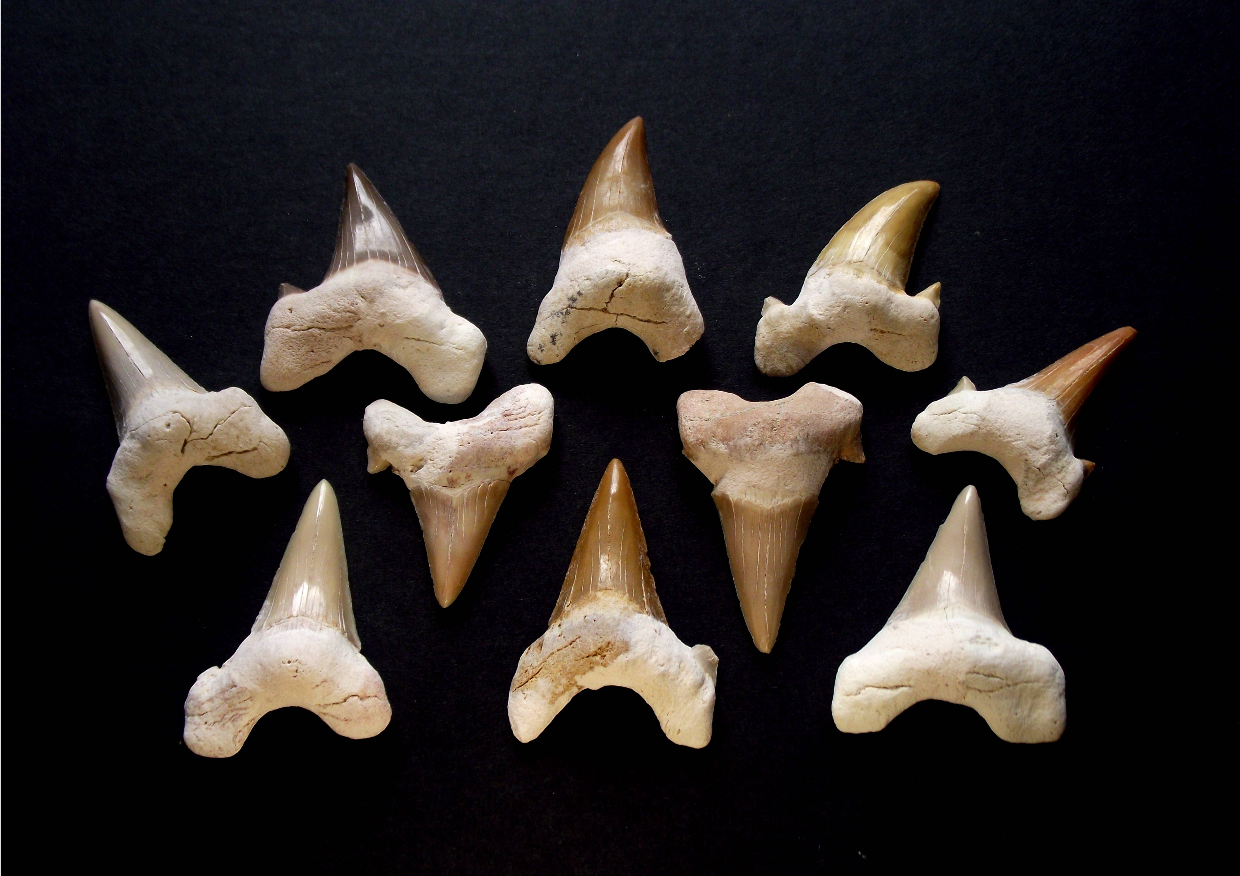 What does a shark tooth look like - answers.com