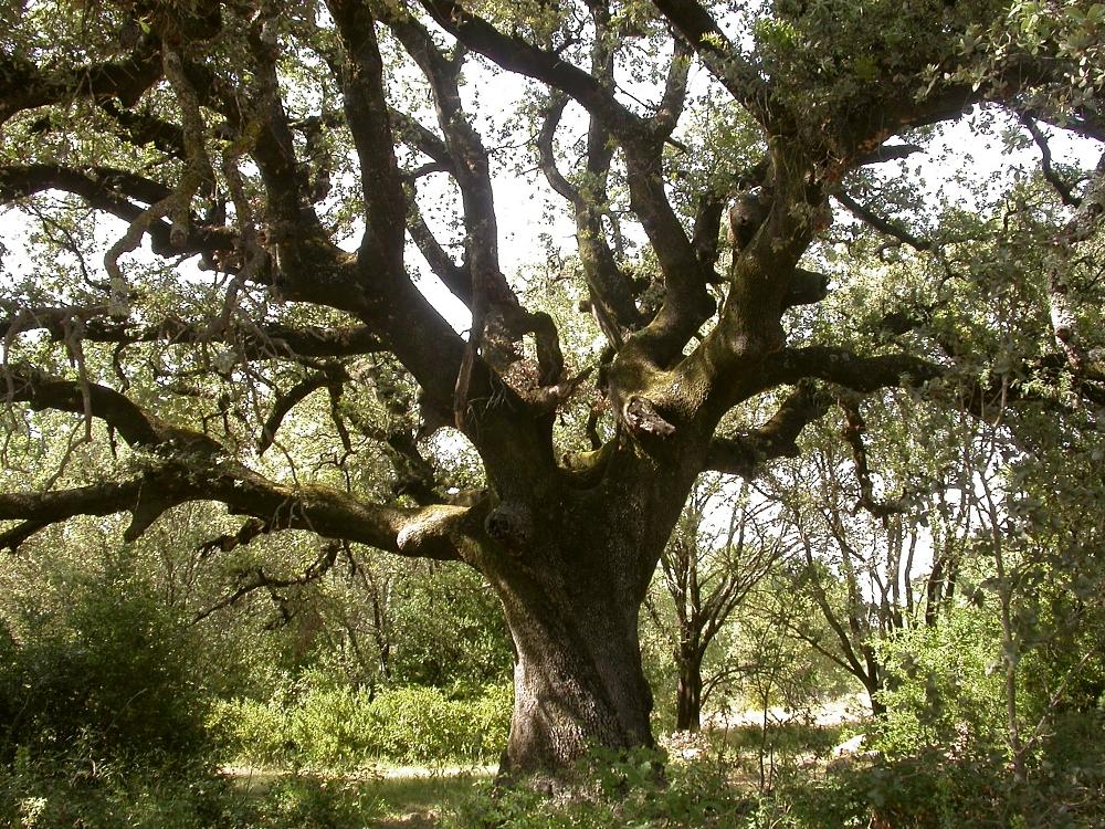 Depiction of Quercus ilex