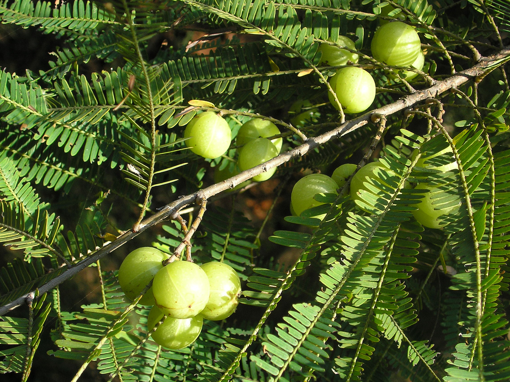 Phyllanthus emblica; Amla; Emblica officinalis