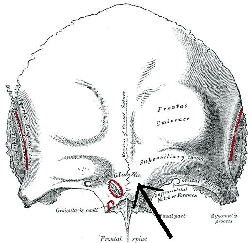 Frontal Bone Anatomy