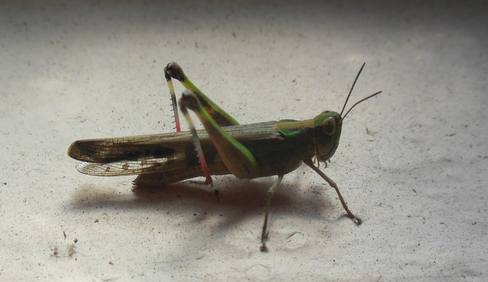 Grasshoppers - Wikiquote