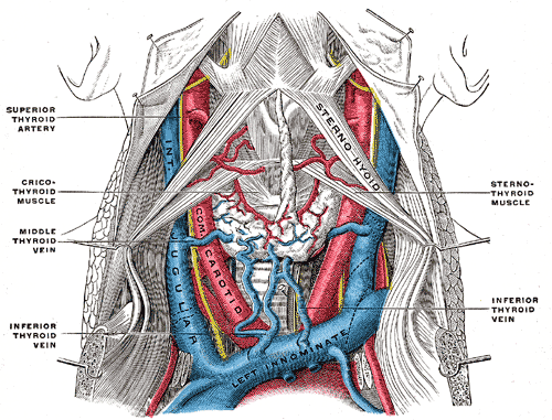 Internal Jugular Vein Wikipedia