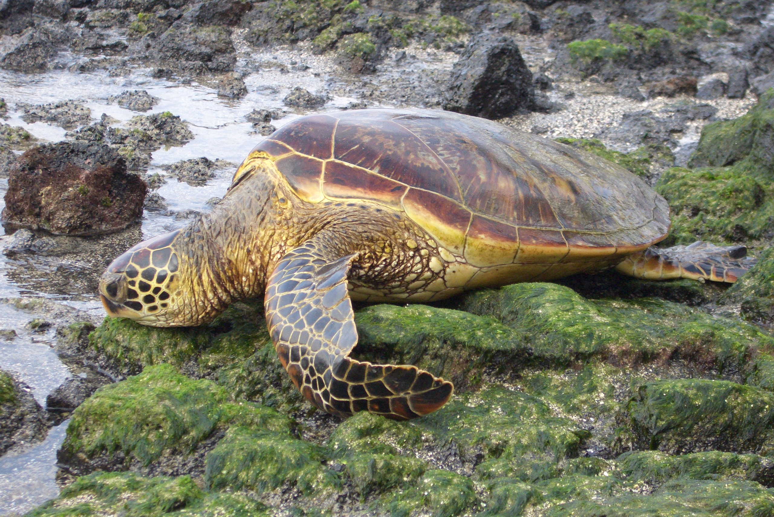 Sea turtles designed for water? Natures Crusaders