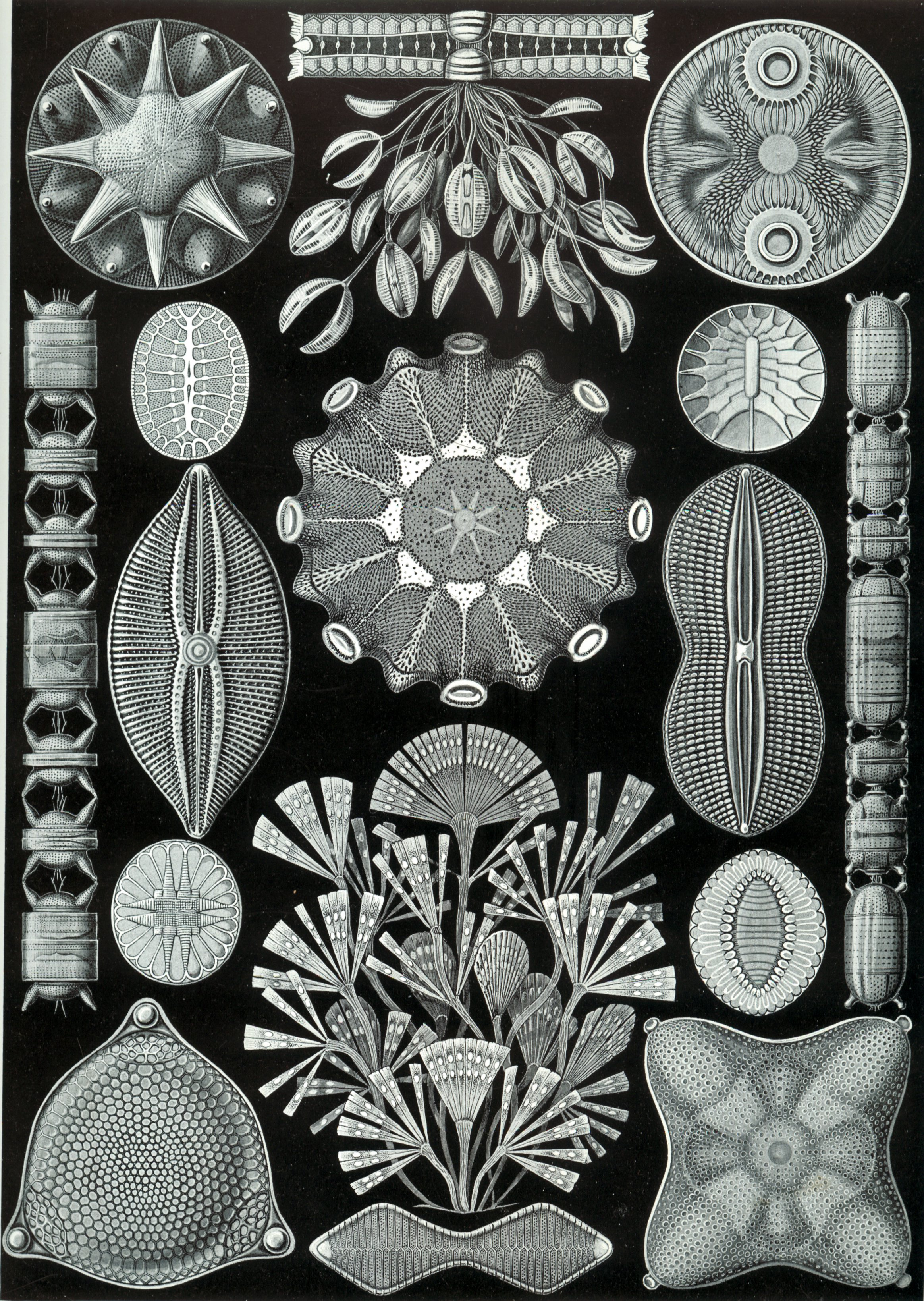 diatoms diversity shapes