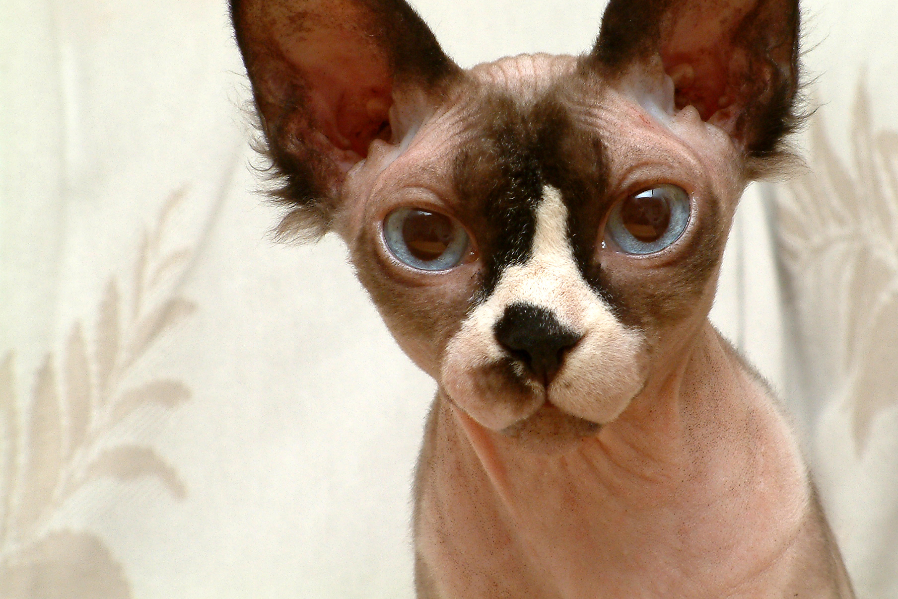 Free Hairless Cats Adoption