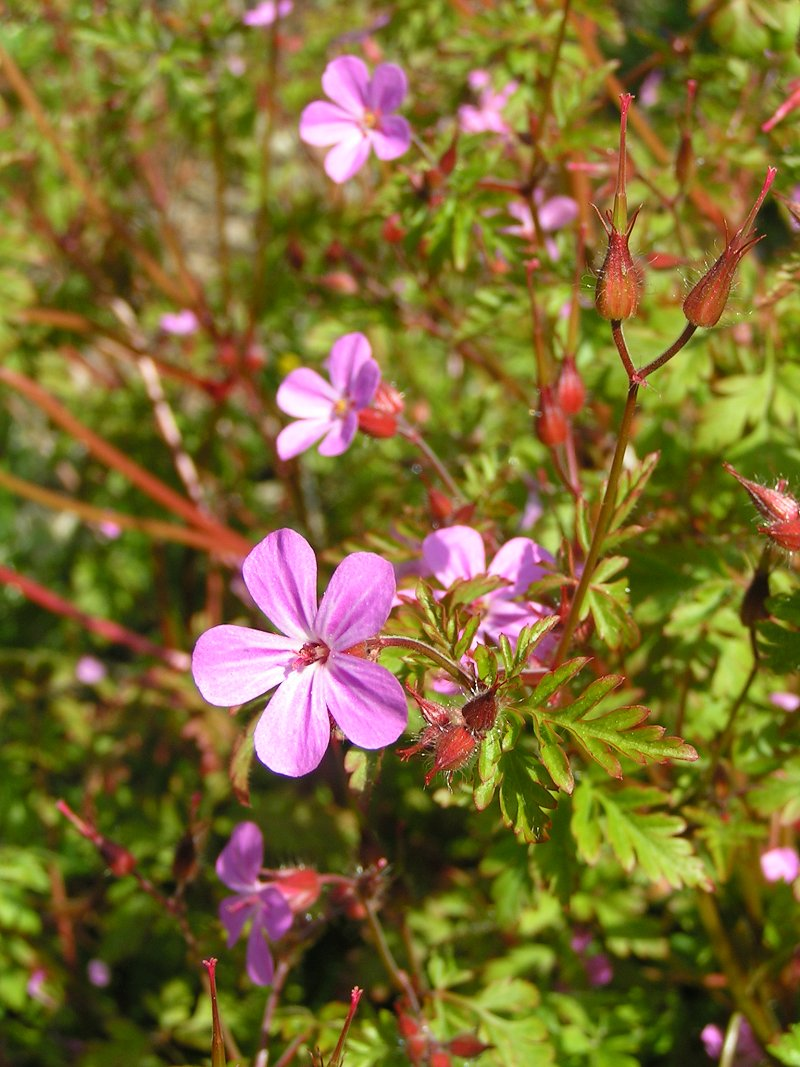 Geranium Robertianum Wikipedia