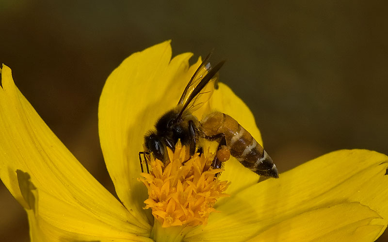 File:Honey Bee (India).jpg