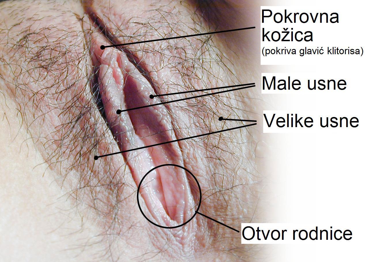 Anatomy of clitoris