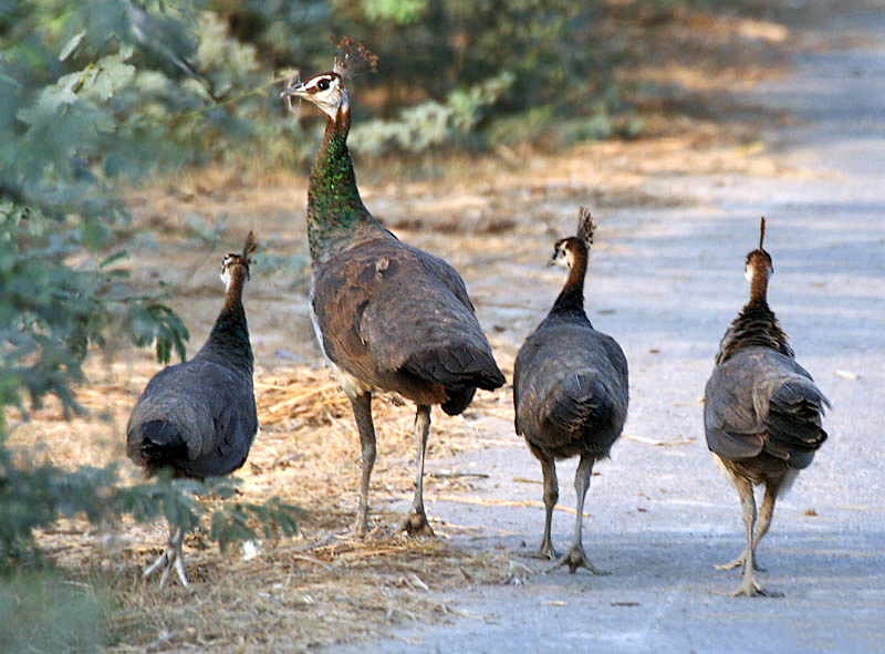 File:Indian Peahens I IMG 9647.jpg