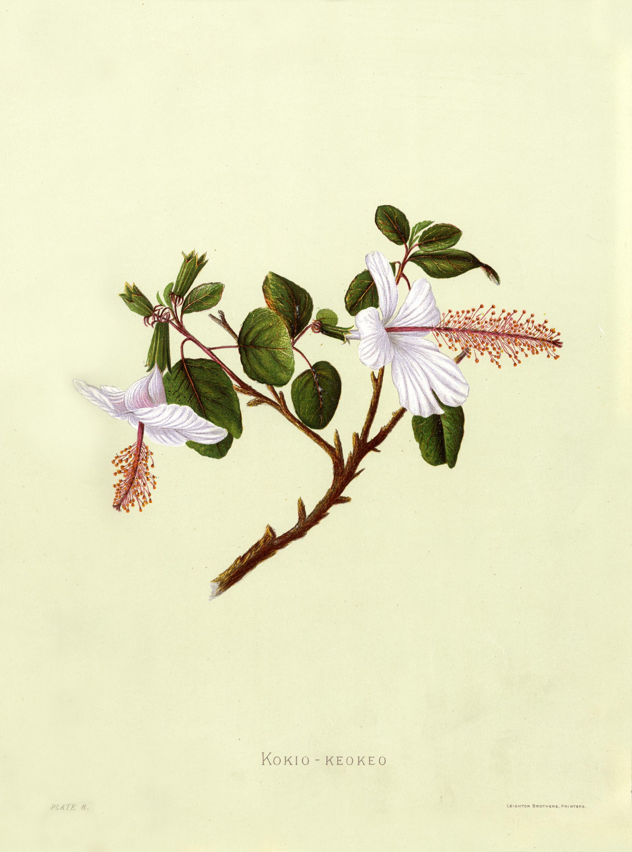 Fileindigenous flowers of the hawaiian islands plate 8g fileindigenous flowers of the hawaiian islands plate 8g izmirmasajfo