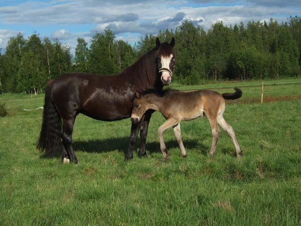 Scandinavian Coldblood Trotter - Horse Scanner