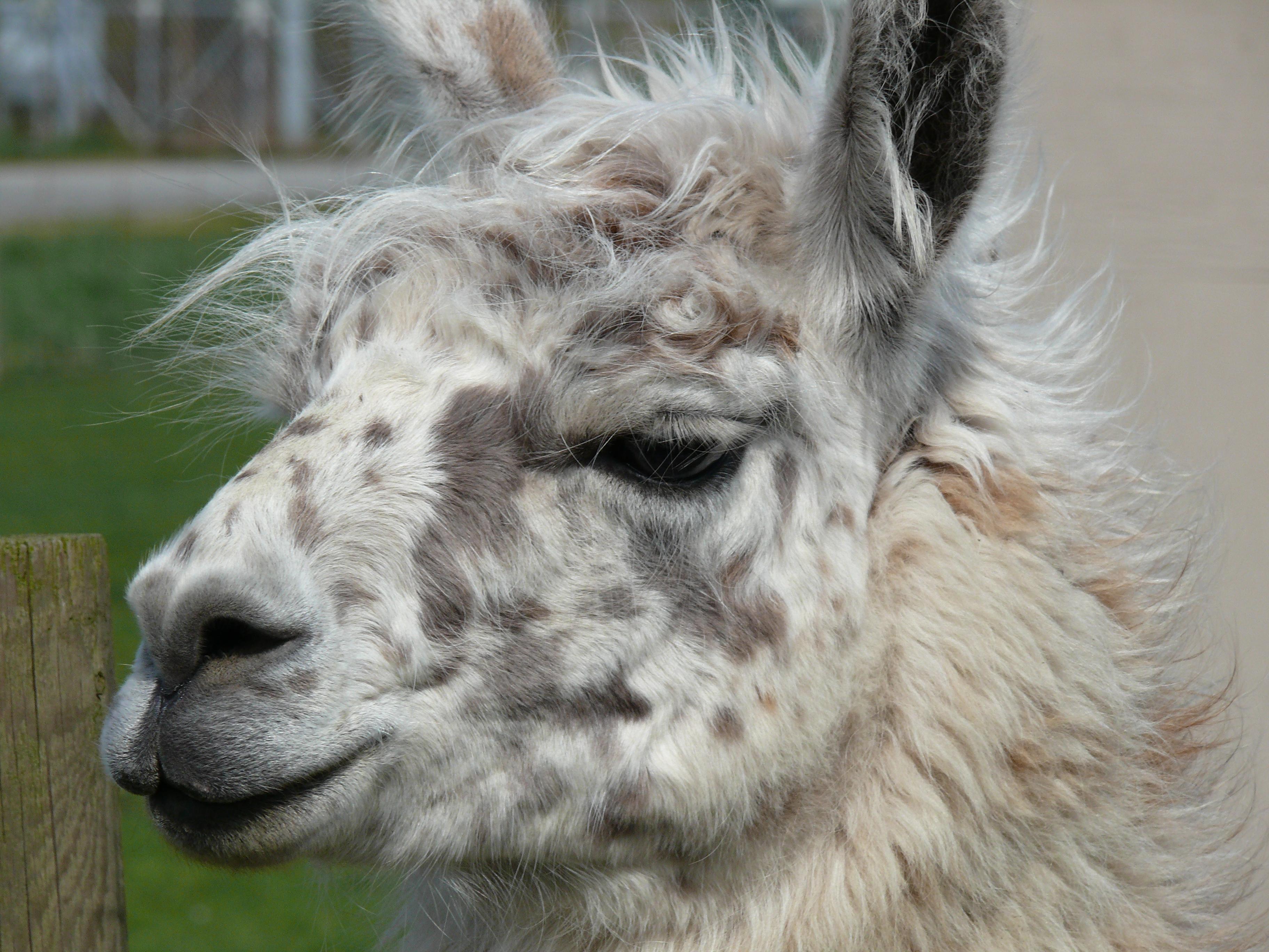 Funny Llama Face