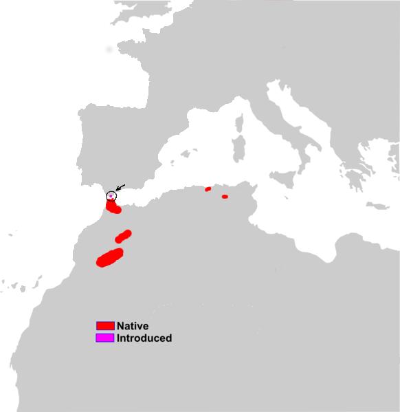 [Image: Macaca_sylvanus_range_map.png]