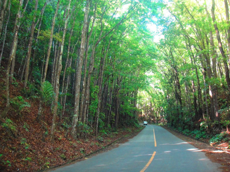 File:Mahogany man made forest, Bohol.png  Wikipedia