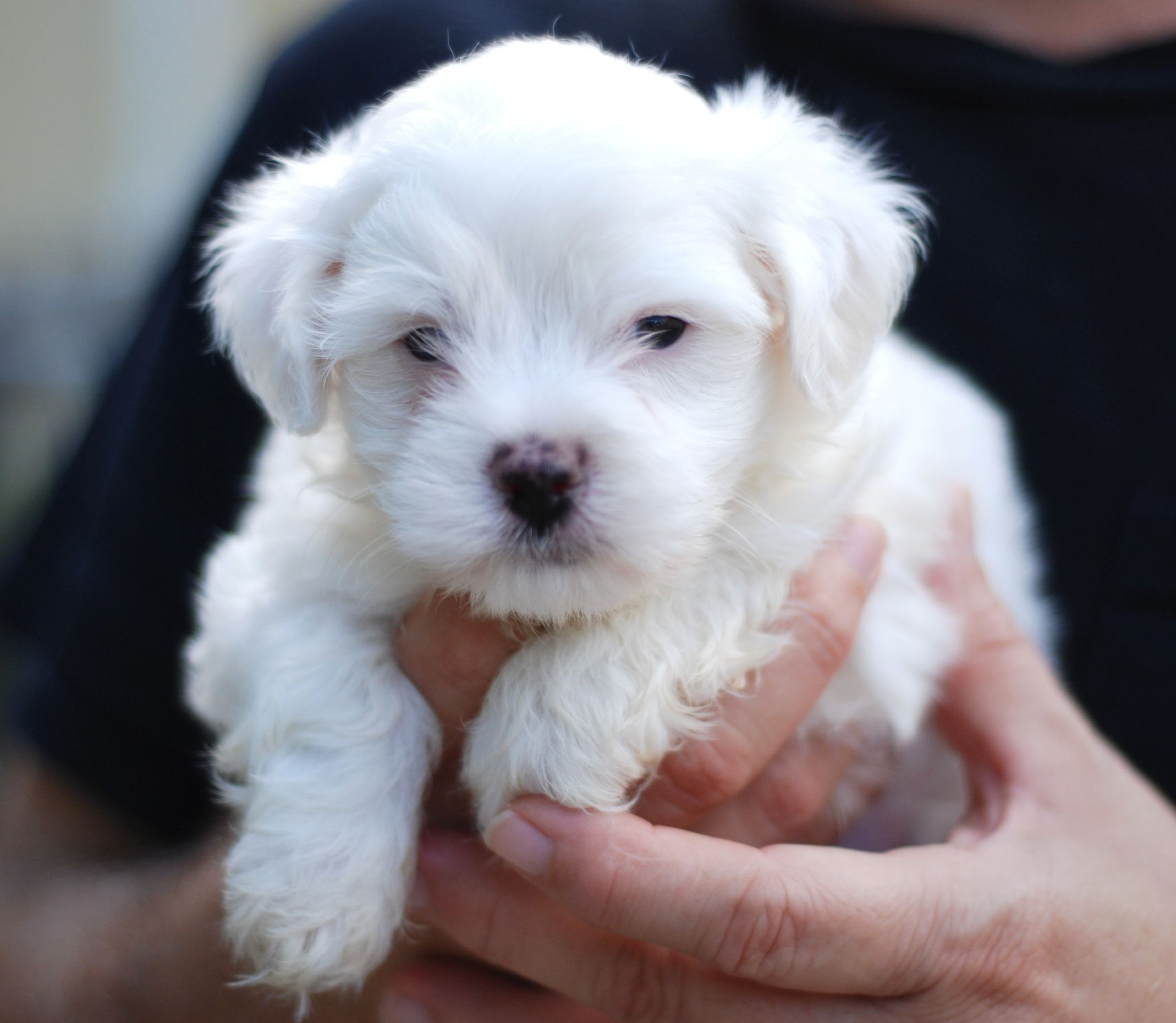 Description Maltese puppy portrait.jpg