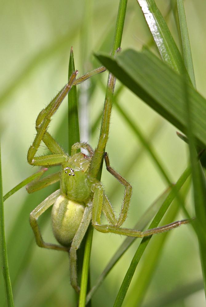 Osemočko smaragdové (Micrommata virescens) - samička