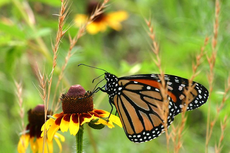 File:Monarch Butterfly.jpg