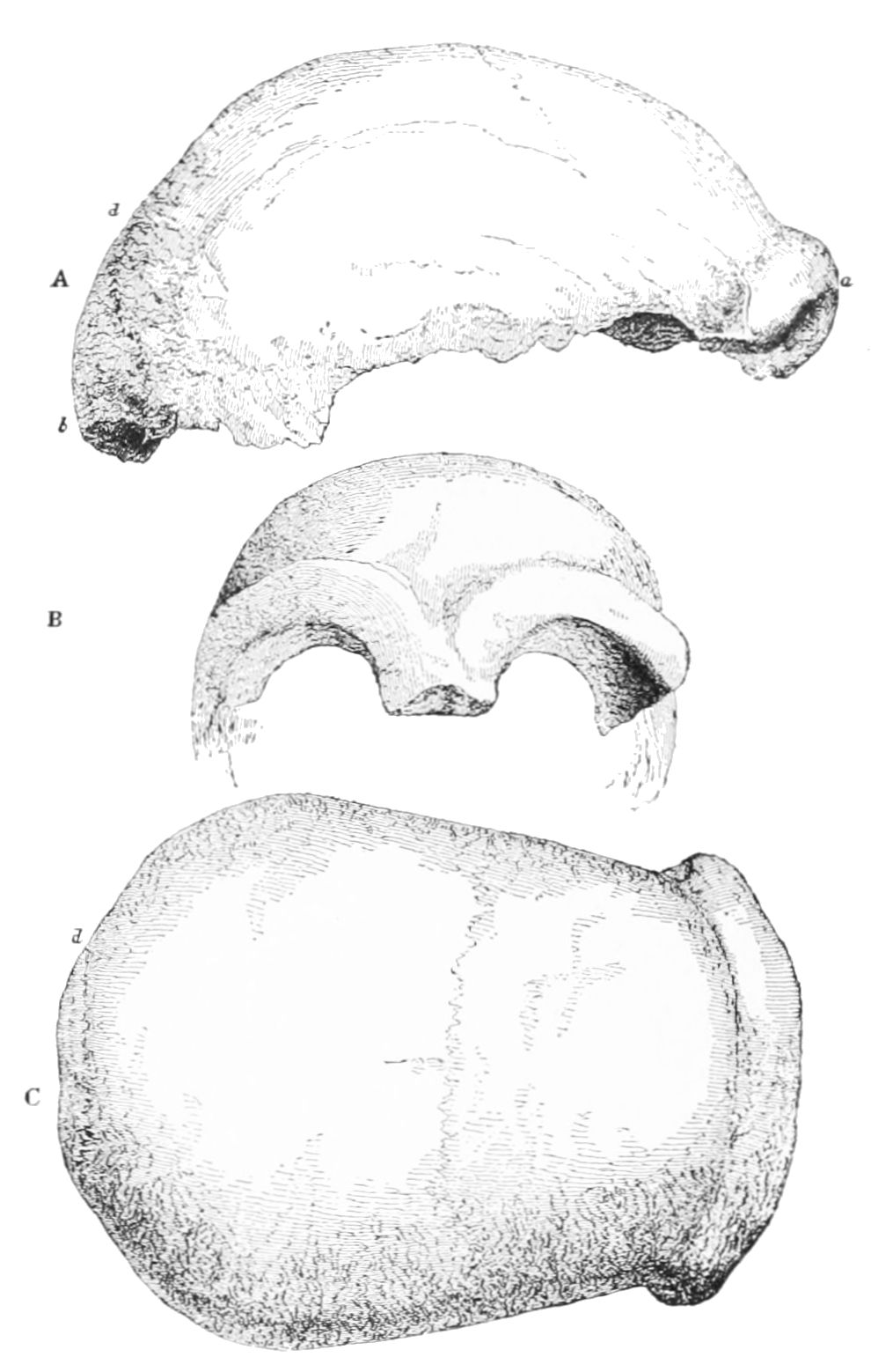 PSM V44 D633 A skull from a neanderthal cavern.jpg