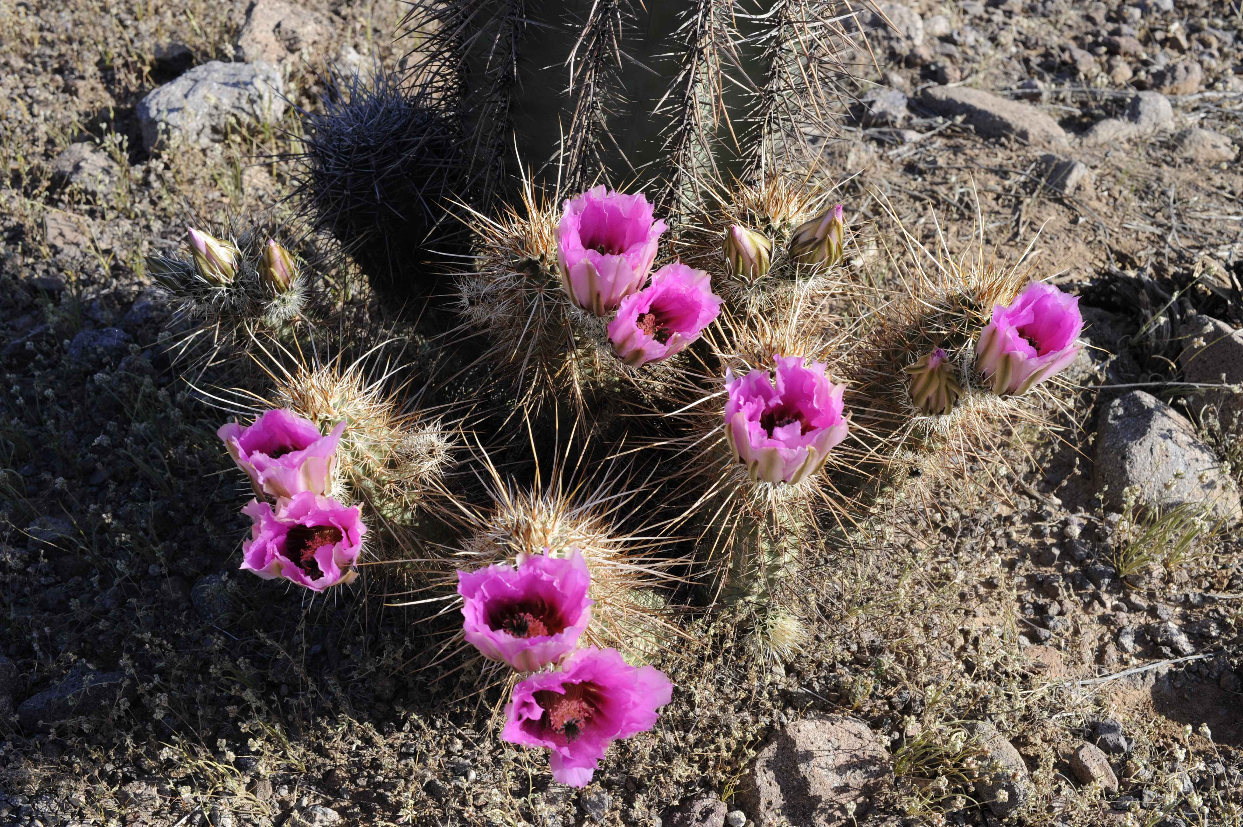 File Ping purple flowering barrel cactus in the sonoran desert