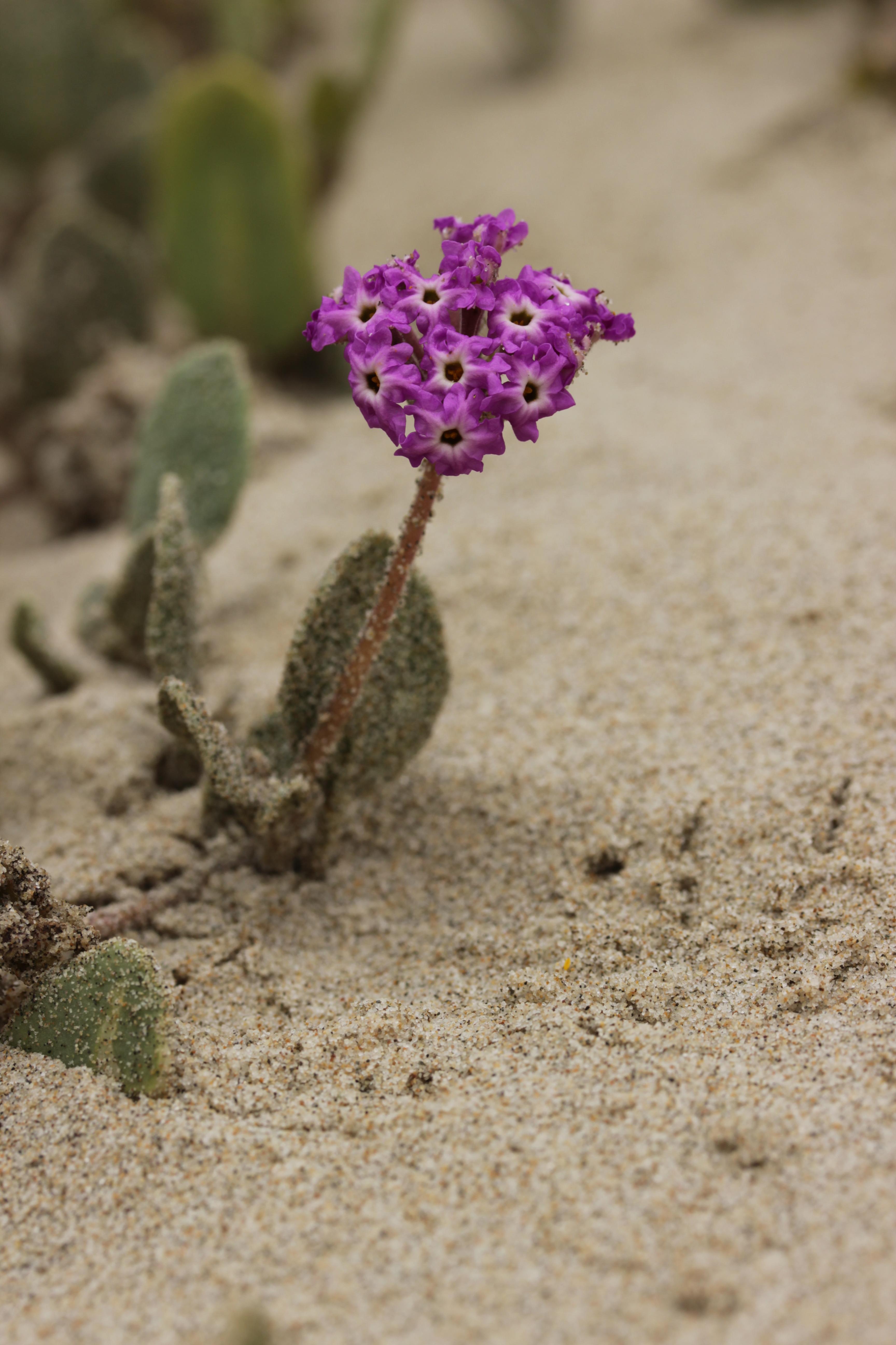 Filepink Sand Verbena Abronia Umbellata 42873593792jpg