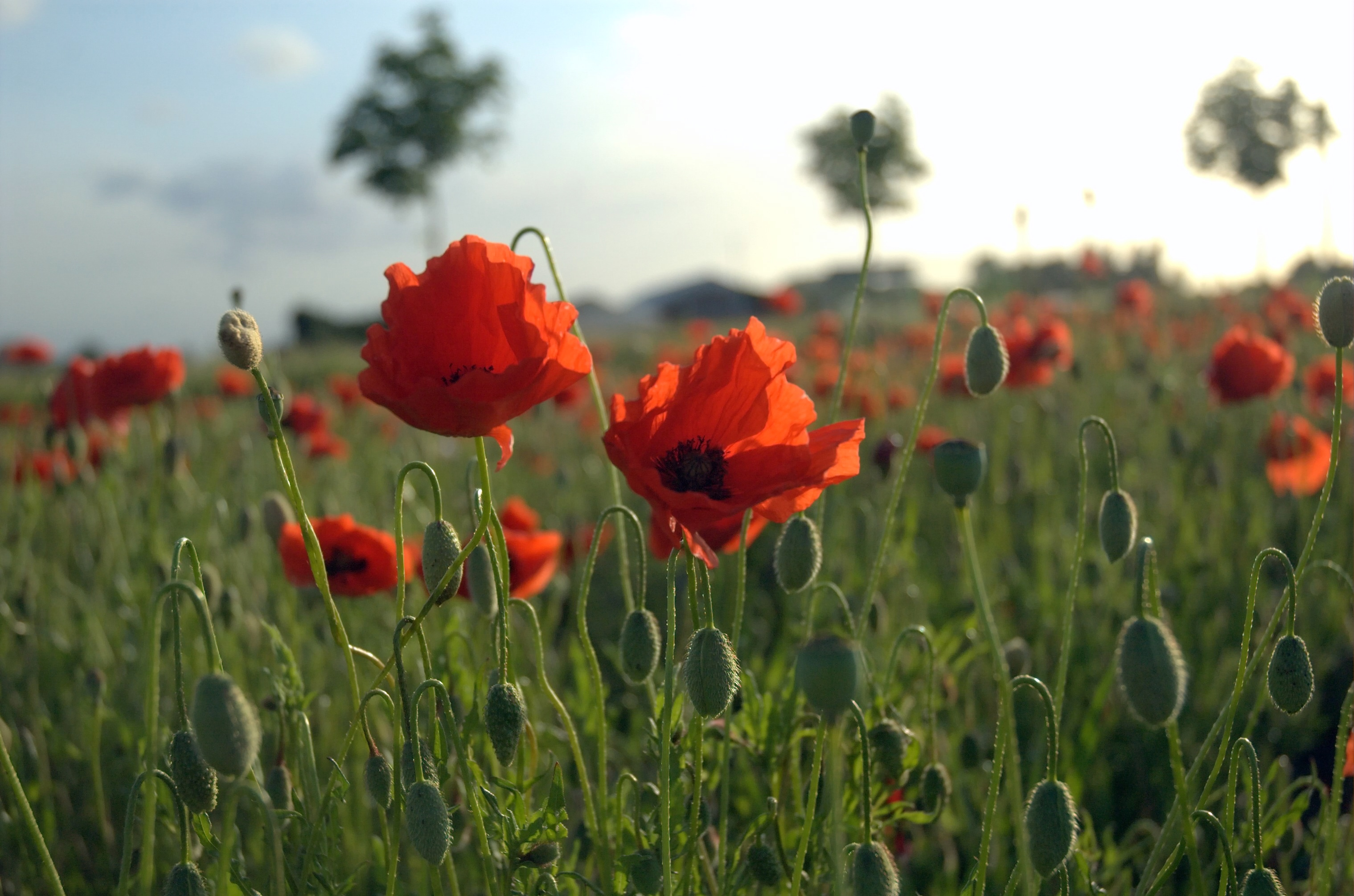 "Zum Volkstrauertag: ""In Flanders Fields the poppies blow..."""