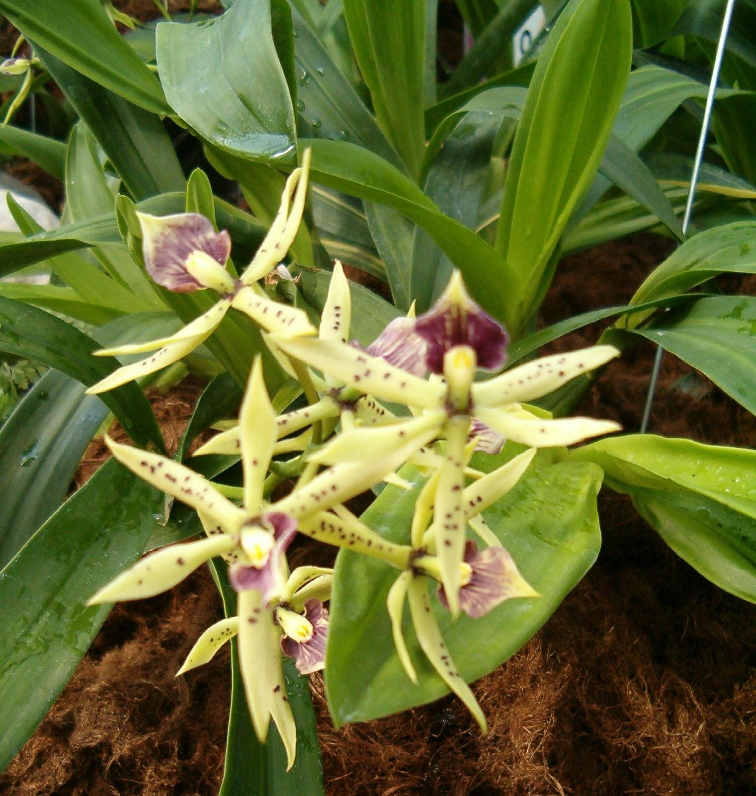 http://upload.wikimedia.org/wikipedia/commons/e/e9/Prosthechea_cochleata_Encyclia_cochleata_OrchidsBln0906c.jpg
