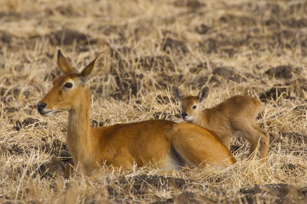 Puku female and fawn, - Pukulu, Congo, The Democratic Republic of the